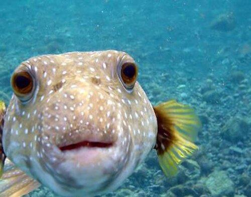 Puffer fish facts: swimming puffer fish