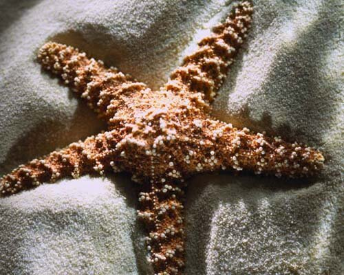 Starfish facts: brown starfish