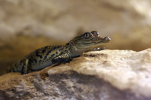 Crocodile facts: baby crocodile