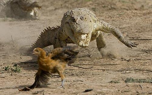 Crocodile facts: chasing chicken