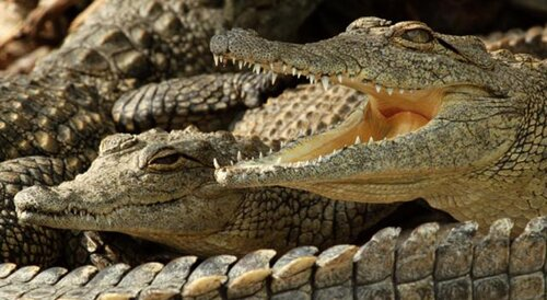 Crocodile facts: harmful crocodile
