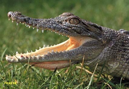 Crocodile facts: wide mouth