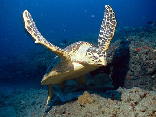 Facts about turtle: Hawksbill Sea Turtle