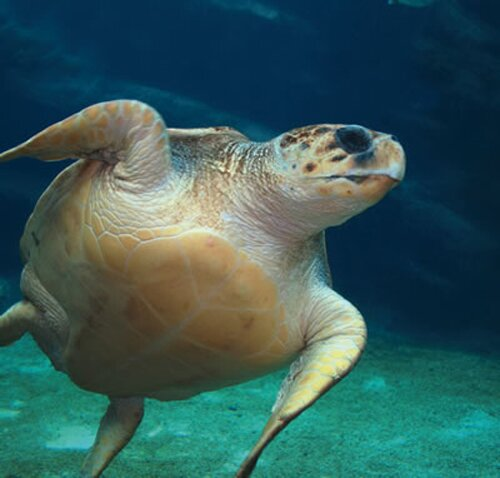 Facts about turtle: Loggerhead Sea Turtle