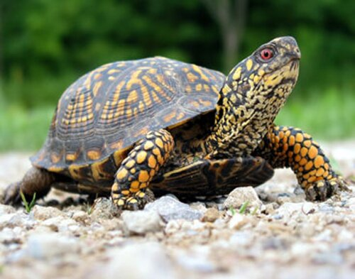 Facts about turtle: adult turtle