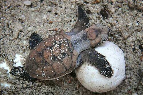 Facts about turtle: baby turtle