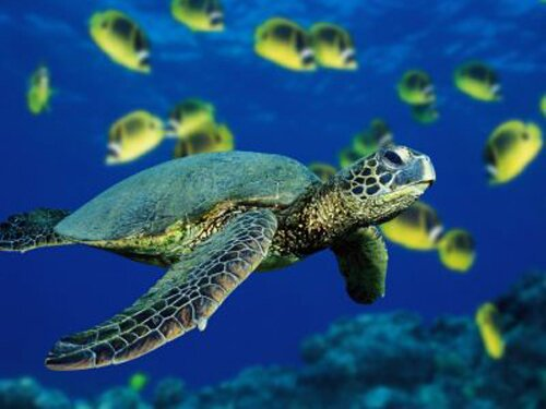 Facts about turtle: green sea turtles