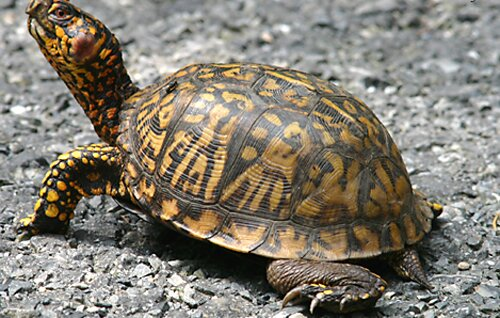 Facts about turtle: walking turtle