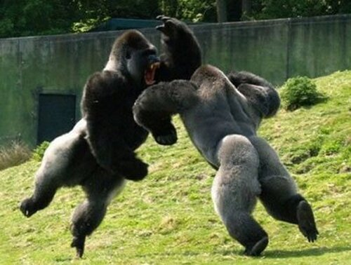 Gorilla facts: Gorilla Fight