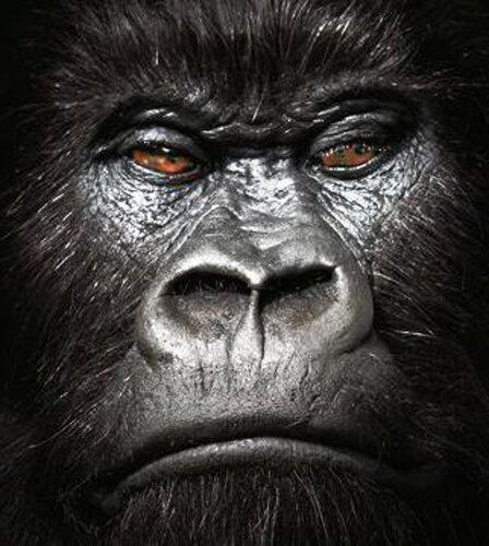 Gorilla facts: Gorilla'sExpresssion