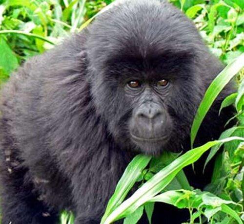 Gorilla facts: Rwanda Gorilla