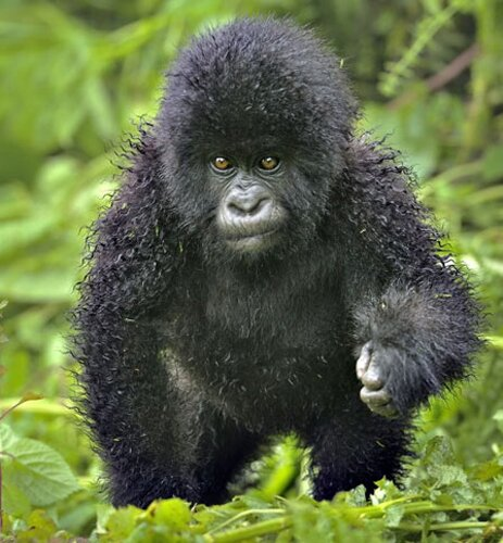Gorilla facts: small gorilla