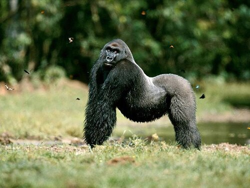 Gorilla facts : western low land gorilla
