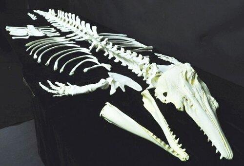 Beluga whale facts: skeleton
