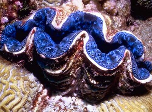 Mollusks facts: giant clam