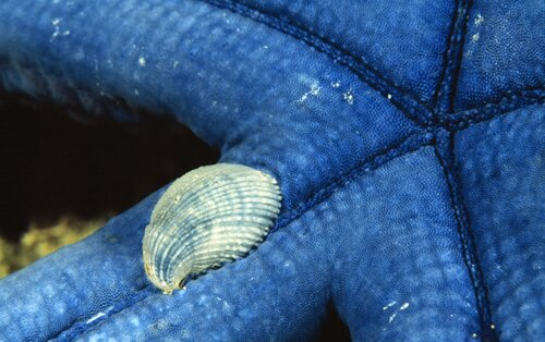 Mollusks facts: mollusk on sea star