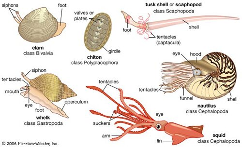 Mollusks facts: mollusks variants