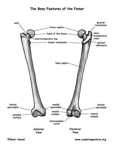 Skeletal system facts: femur