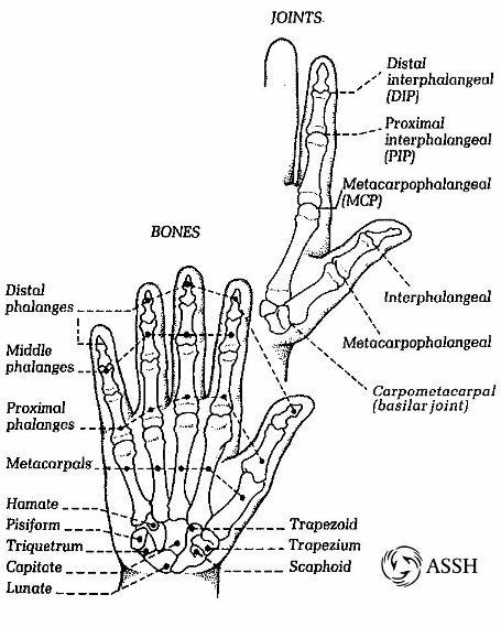Skeletal system: facts finger