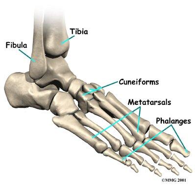 Skeletal system facts: foot