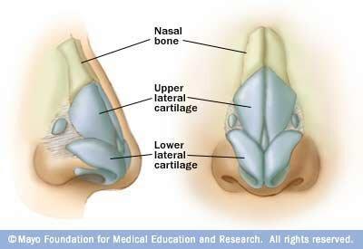 Skeletal system facts: nose cartilage
