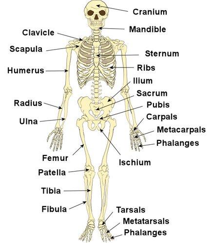 Skeletal system facts: skeleton