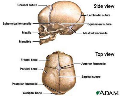 Skeletal system: facts skull