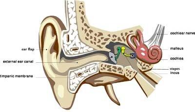 Skeletal system facts: smallest bone