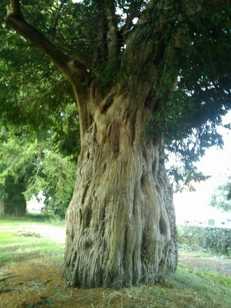Wales facts: overton yew trees