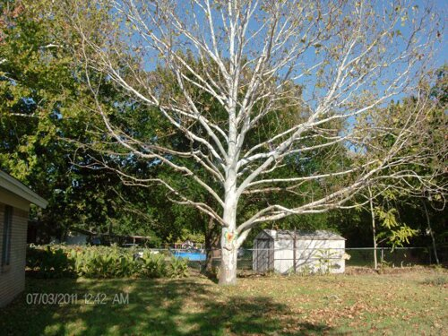 West Virginia facts: sycamore tree