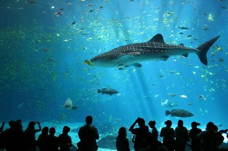 Facts about whale sharks - At Georgia Aquarium
