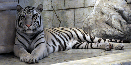 Facts about white tigers - White tiger