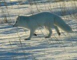 10 Interesting Facts about Arctic Fox
