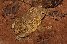 Facts  2  Male Toad
