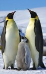 10 Interesting Facts about The Emperor Penguin