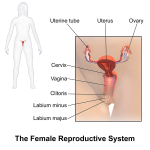 10 Interesting Facts about The Female Reproductive System