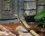 10 Interesting Facts about the King Cobra