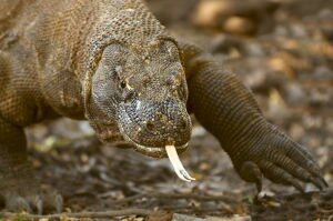 Facts 4 Komodo Dragon