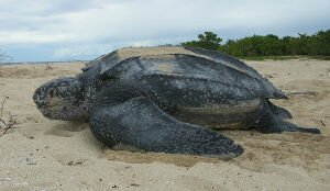 Facts 2 Leatherback Sea Turtle