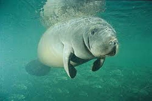 Facts about The Manatee