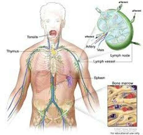 Lymphatic System Facts