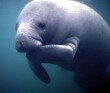 10 Interesting Facts about the Manatee