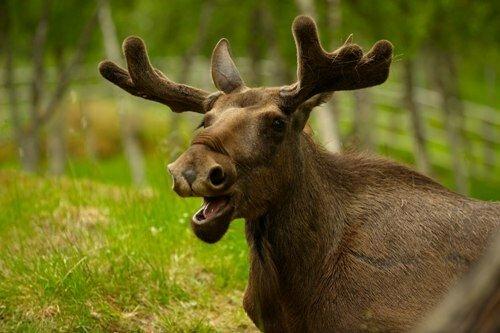 Moose Image